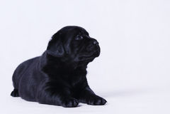 Perrito del perro perdiguero de Labraor Imagenes de archivo