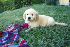 Perrito del perro perdiguero de oro foto de archivo libre de regalías