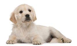 Perrito del perro perdiguero de oro, 20 semanas de viejo Foto de archivo