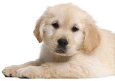 Perrito del perro perdiguero de oro, 20 semanas de viejo, mintiendo Imagen de archivo