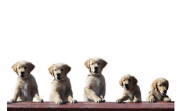 Perrito del perro perdiguero de oro Fotografía de archivo libre de regalías