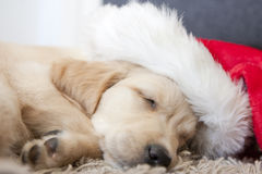 Perrito del perro perdiguero de oro 6 semanas de viejo con el sombrero de santa Imagen de archivo