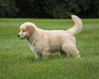 Perrito del perro perdiguero de oro Fotos de archivo libres de regalías