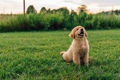 Perrito del perro perdiguero de oro imagenes de archivo