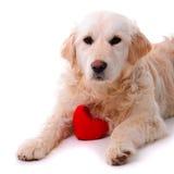 Perrito del perro perdiguero de oro aislado Fotografía de archivo