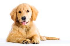 Perrito del perro perdiguero de oro con su lengüeta que cuelga hacia fuera fotografía de archivo