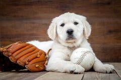 Perrito del perro perdiguero de oro imágenes de archivo libres de regalías