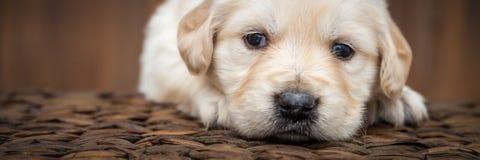 Perrito del perro perdiguero de oro imagen de archivo