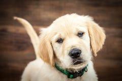 Perrito del perro perdiguero de oro fotos de archivo
