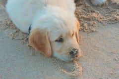 Perrito del perro perdiguero de oro que pone en arena Imagenes de archivo