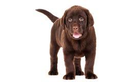 Perrito del perro perdiguero del chocolate en blanco Fotografía de archivo libre de regalías