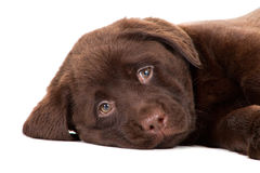 Perrito del perro perdiguero del chocolate en blanco Foto de archivo