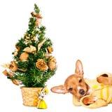 Perrito del pincher del Doberman con un árbol de navidad Imágenes de archivo libres de regalías