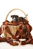 Perrito del pitbull en la cesta que juega con las cintas Fotos de archivo