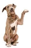 Perrito del pitbull que se sienta con una pata aumentada Fotografía de archivo libre de regalías