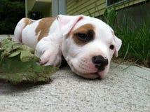 Perrito del pitbull imagen de archivo libre de regalías