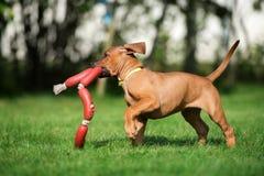 Perrito del ridgeback de Rhodesian que juega al aire libre fotografía de archivo