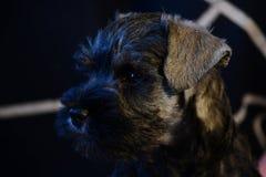 Perrito del Schnauzer miniatura fuera de padres del campeón fotografía de archivo