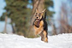 perrito del terrier del airedale que corre al aire libre en invierno fotos de archivo