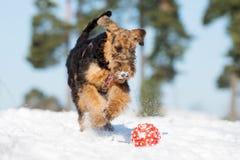 perrito del terrier del airedale que corre al aire libre en invierno fotografía de archivo