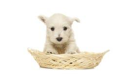 Perrito del terrier blanco de montaña del oeste Fotos de archivo libres de regalías