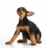 Perrito del terrier de Airedale imagen de archivo libre de regalías