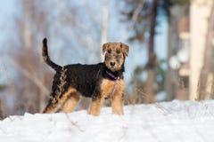 Perrito del terrier de Airedale que presenta al aire libre en invierno fotos de archivo libres de regalías