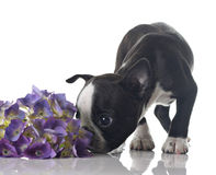 Perrito del terrier de Boston imagen de archivo libre de regalías