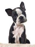 Perrito del terrier de Boston fotografía de archivo