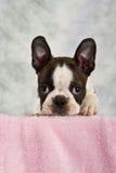 Perrito del terrier de Boston que mira fuera de la caja Fotografía de archivo