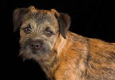 Perrito del terrier de frontera Foto de archivo libre de regalías