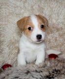 Perrito del terrier de Gato Russel fotos de archivo libres de regalías