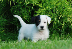 Perrito del terrier de Gato Russell Imagen de archivo libre de regalías