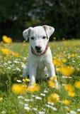 Perrito del terrier de Gato Russell Foto de archivo