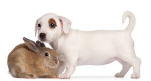Perrito del terrier de Gato Russell y un conejo Foto de archivo libre de regalías