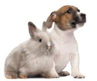 Perrito del terrier de Gato Russell y un conejo Fotografía de archivo