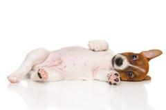 Perrito del terrier de Jack Russell en blanco fotografía de archivo libre de regalías