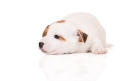 Perrito del terrier de Jack Russell en blanco foto de archivo libre de regalías