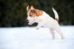 Perrito del terrier de Jack Russell que juega al aire libre en invierno imagenes de archivo