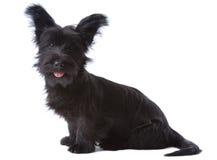Perrito del terrier de Skye Fotografía de archivo
