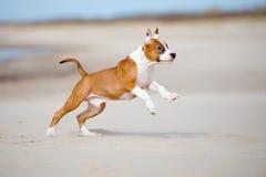 Perrito del terrier de Staffordshire americano que corre en una playa Imagen de archivo libre de regalías