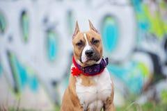 Perrito del terrier de Staffordshire americano que presenta al aire libre fotos de archivo libres de regalías