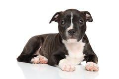 Perrito del terrier de Staffordshire Bull Imagen de archivo libre de regalías