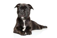 Perrito del terrier de Staffordshire Bull Foto de archivo libre de regalías
