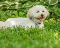 Perrito del terrier de Tulear del algodón en el sol en la hierba Fotos de archivo