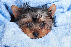 Perrito del terrier de Yorkshire (2 meses) Fotografía de archivo
