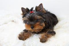 perrito del terrier de yorkshire Fotos de archivo