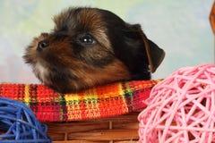 Perrito del terrier de Yorkshire Fotografía de archivo