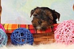 Perrito del terrier de Yorkshire Foto de archivo