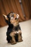 Perrito del terrier de Yorkshire Fotografía de archivo libre de regalías
